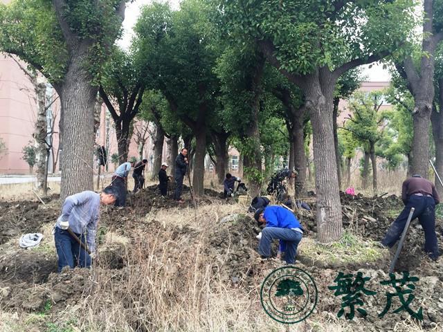 苏州工业园区某学校香樟树移栽工程案例