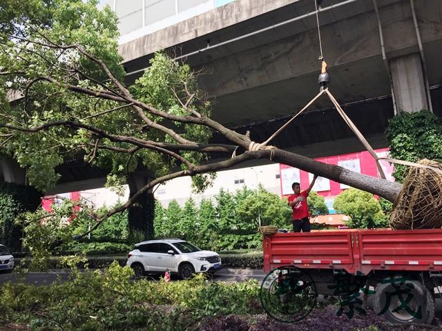 苏州东环路某路段行道树移栽工程案例