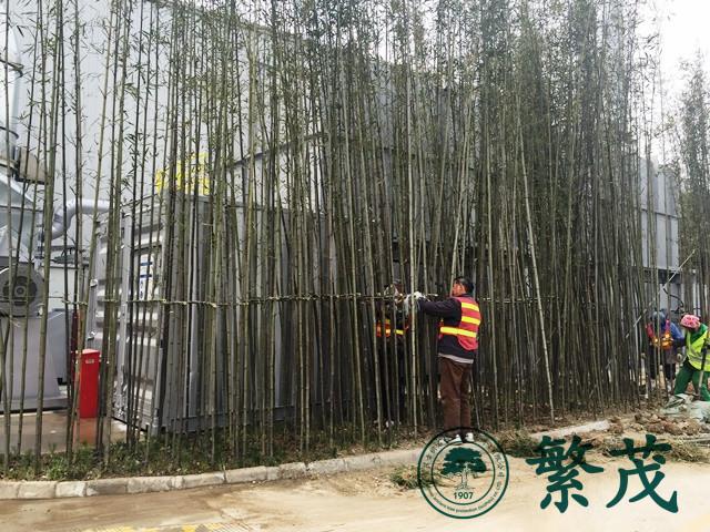 苏州工业园区某工厂刚竹种植工程案例