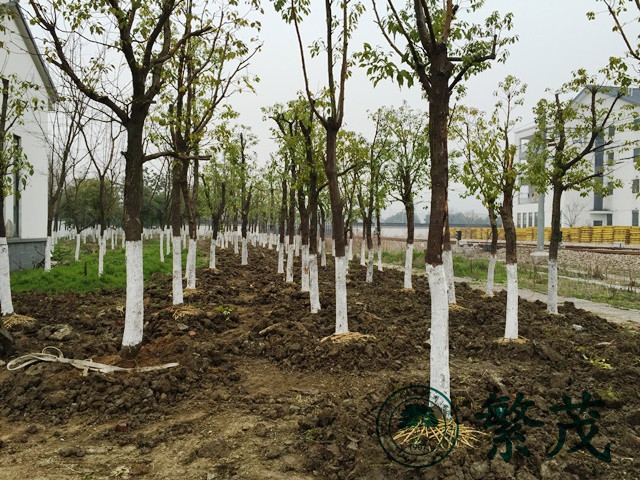 苏州某国企单位苗木迁移工程案例