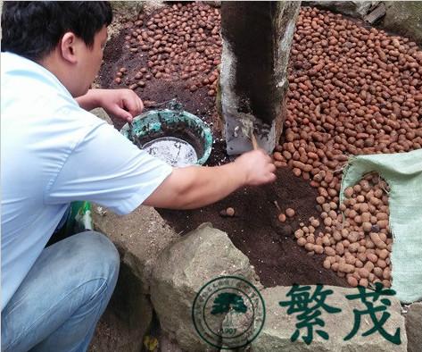 苏州吴中林场某古黄杨救治复壮项目