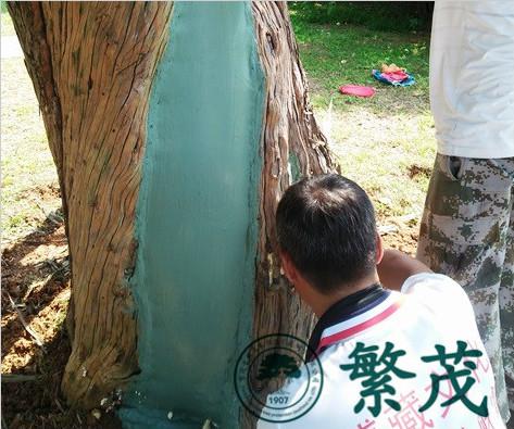 苏州白马寺某古罗汉松抢救项目