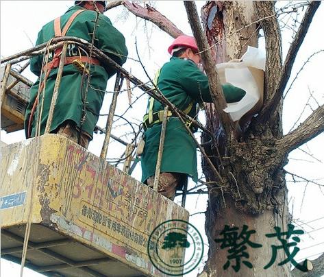 张家港杏市村某古银杏救治复壮项目