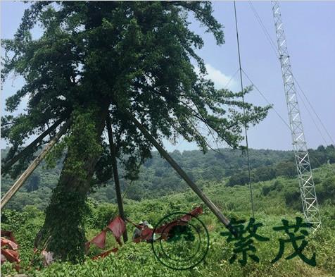 苏州某古罗汉松安装避雷针项目