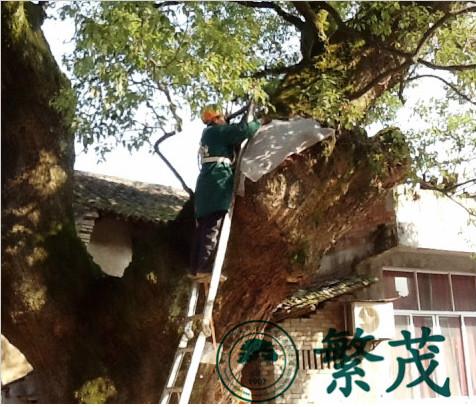 横店联盟村某樟树保护项目