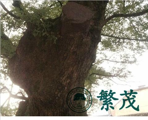 浙江湖溪镇西村炉庄某樟树保护项目