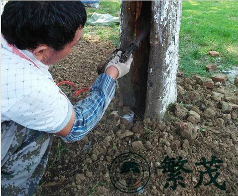 苏州某纪念馆古青枫救治复壮项目