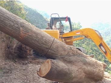 擅自砍伐古树名木?罚你没商量!最高200万元!